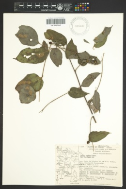 Image of Celtis caudata