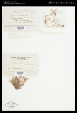 Hypnea charoides image