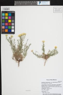 Xanthisma spinulosum var. spinulosum image