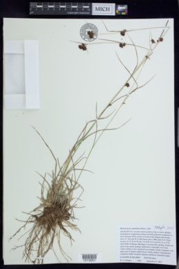 Rhynchospora capitellata image
