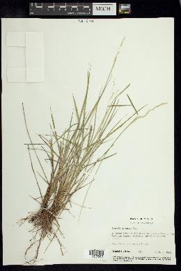 Image of Leersia monandra