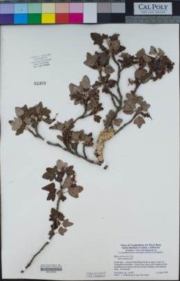 Ribes malvaceum image