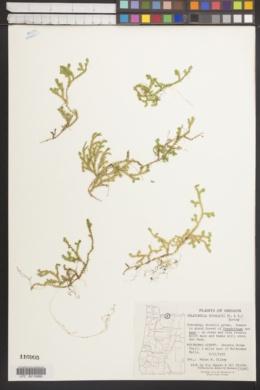 Selaginella douglasii image