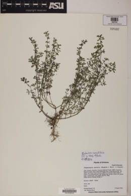 Image of Euphorbia serpillifolia