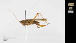 Orchelimum vulgare image