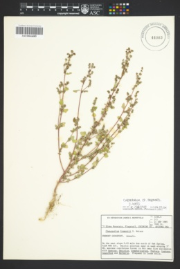 Image of Chenopodium albescens