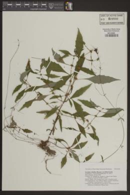 Lycopus rubellus image