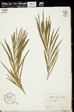 Acacia floribunda image