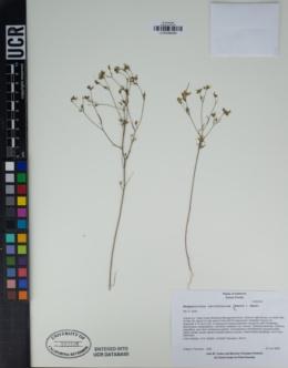 Hesperolinon californicum image