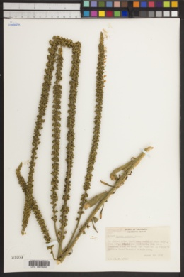 Image of Reseda aucheri