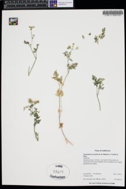 Image of Conioselinum pacificum