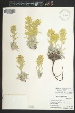 Cryptantha fulvocanescens image
