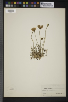 Papaver alpinum image