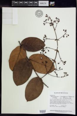 Image of Banisteriopsis pulcherrima