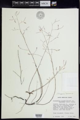 Image of Polygonum basiramium