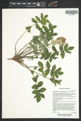 Hydrophyllum occidentale image