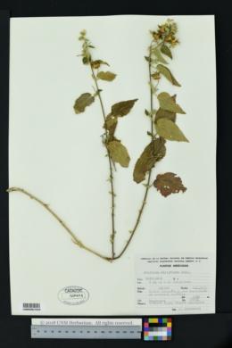 Image of Pseudabutilon ellipticum