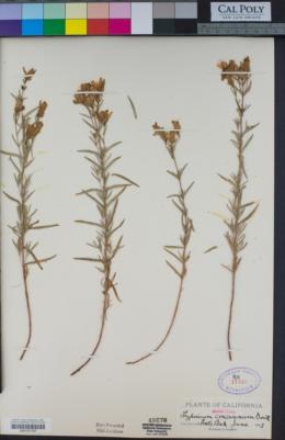 Hypericum concinnum image