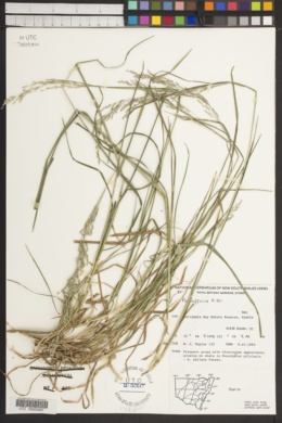 Image of Poa affinis
