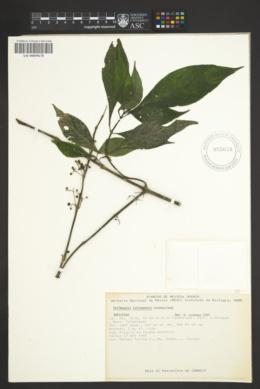 Image of Hoffmannia ixtlanensis