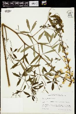 Image of Baptisia albescens