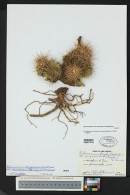 Echinocereus coccineus var. arizonicus image