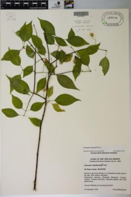 Image of Euonymus bungeanus