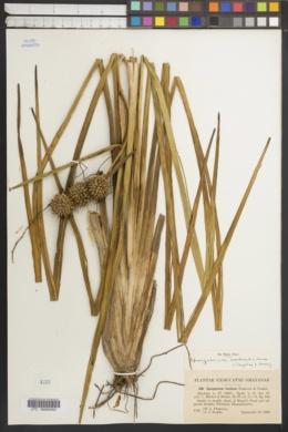 Image of Sparganium lucidum
