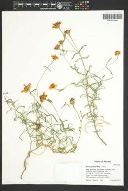Image of Zinnia juniperifolia