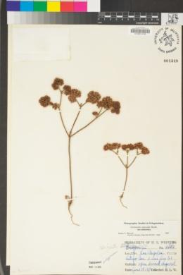Chorizanthe staticoides image