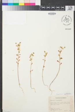 Image of Euphorbia spathulata