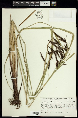 Image of Carex cortesii