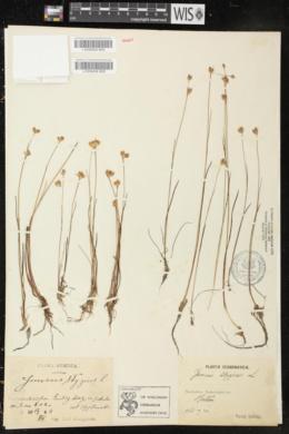 Juncus stygius image