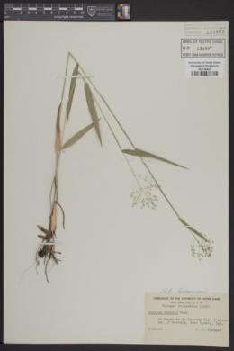 Image of Panicum boreale