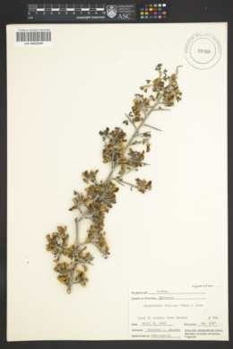 Image of Calycotome villosa