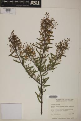 Image of Acacia victoriae