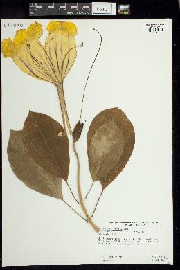 Image of Solandra guttata
