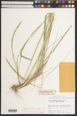 Image of Elymus sinicus