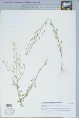 Descurainia pinnata subsp. pinnata image