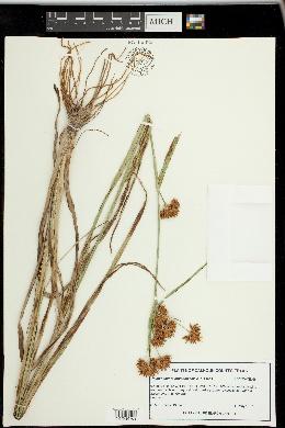 Image of Rhynchospora indianolensis