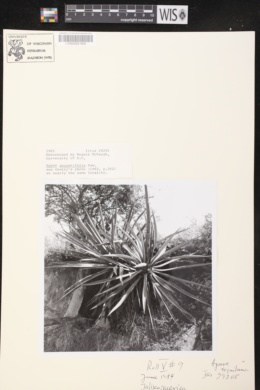 Agave angustifolia image