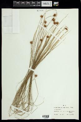 Image of Rhynchospora globosa