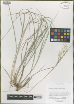 Image of Calamagrostis divaricata