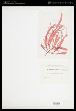 Grateloupia acuminata image