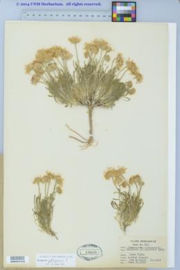 Image of Erigeron poliospermus