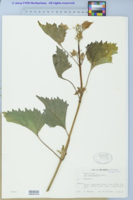Cyclachaena xanthiifolia image