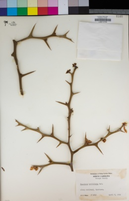 Poncirus trifoliata image
