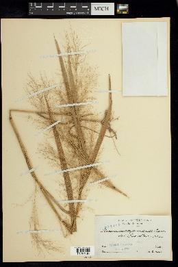 Image of Panicum cayennense