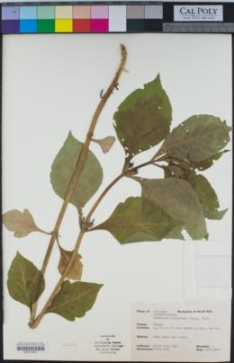 Image of Triosteum illinoense