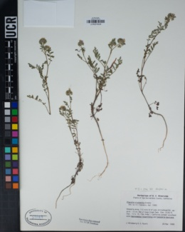Phacelia cryptantha image